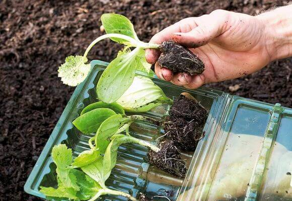 Как сажать кабачки рассадой и семенами в открытый грунт