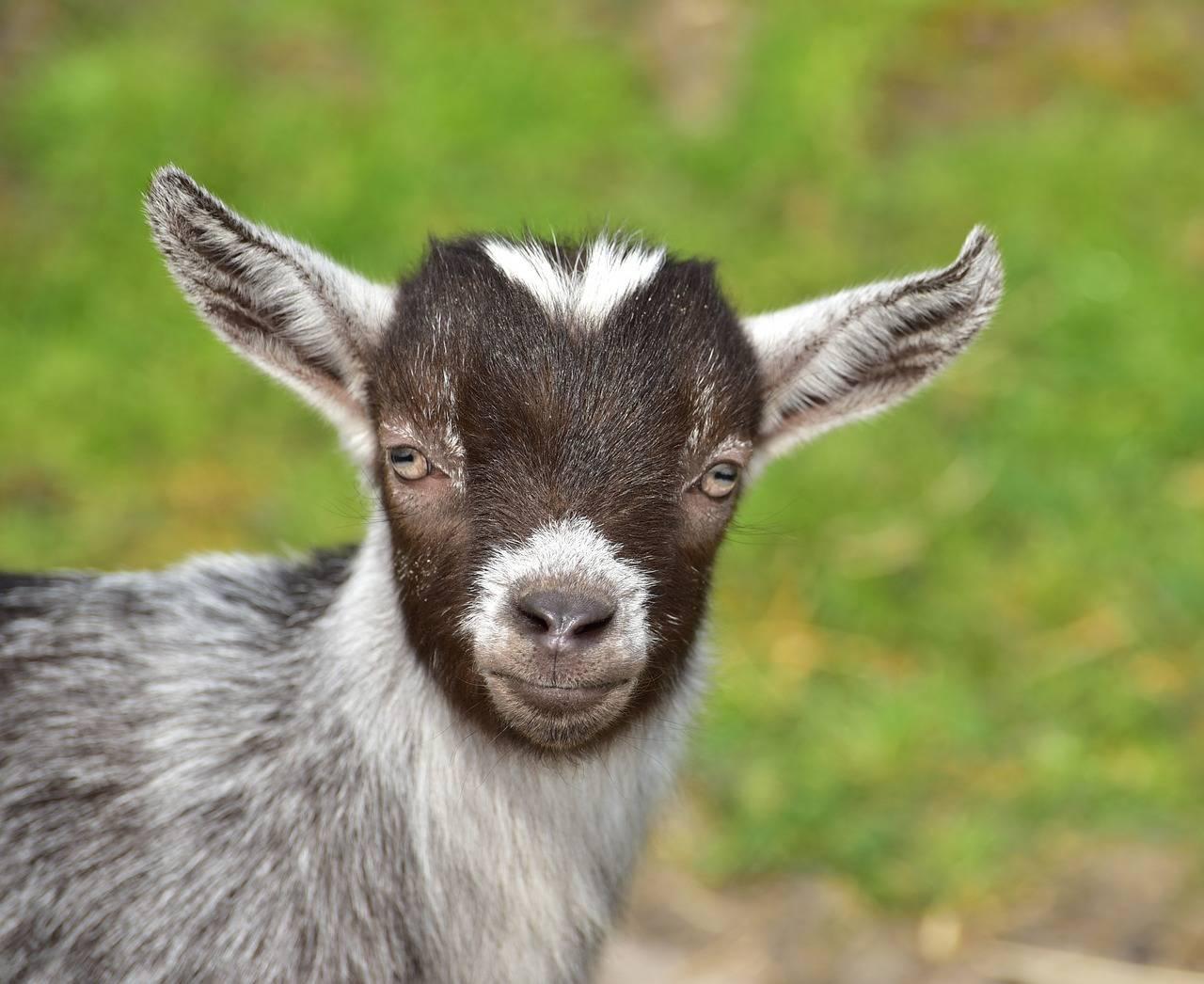 Имена для козы: как можно назвать козленка
