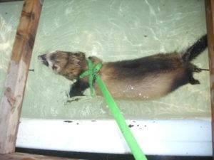 Как поймать дикого хорька и как правильно от него избавится - мыдачники