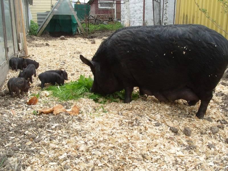 Свиньи породы кармалы