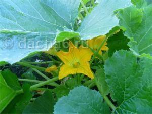 У кабачков желтеют листья - почему так происходит?   огородник из-за чего у кабачков желтеют листья?   огородник