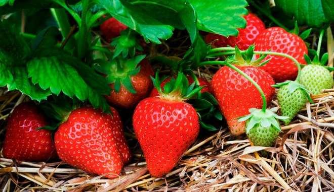 Клубника джоли: отзывы садоводов, все секреты выращивания, фото