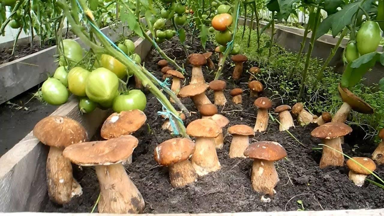 Выращивание грибов в домашних условиях. с чего начать новичку: технология и особенности | cельхозпортал