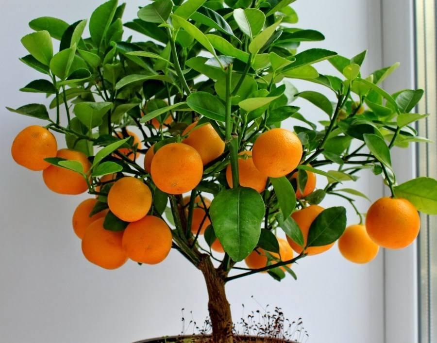 Правильный уход за мандариновым деревом в домашних условиях