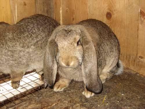 Вислоухие красавцы — кролики французский баран