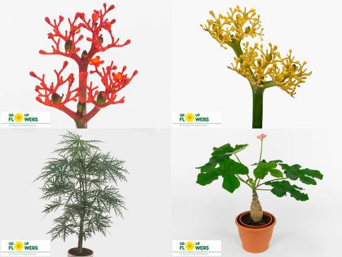 Фокея - фото растения, уход в домашних условиях, размножение
