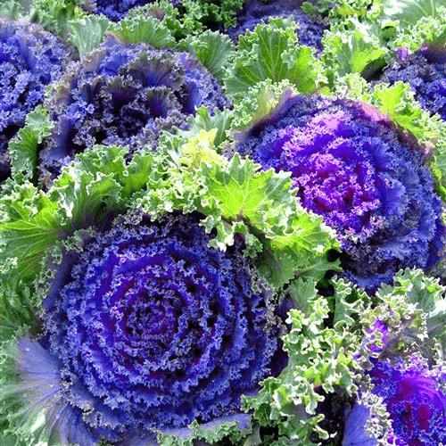 Декоративная капуста сорта фото | вырасти сад!