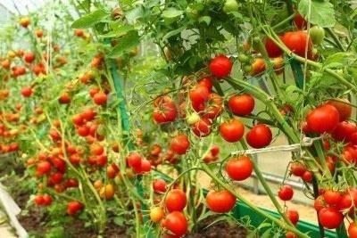 Фитофтора: борьба и обработка помидоров, картофеля, препараты и средства