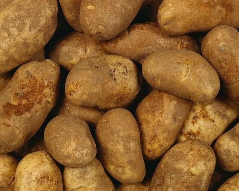 Лучшие сорта картофеля [народный рейтинг 2020]