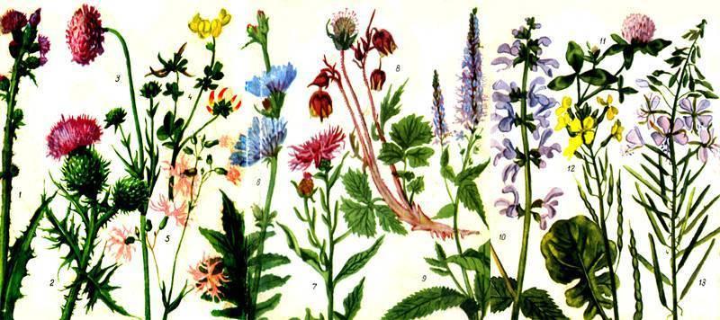 Какие из медоносных растений сеять для пчел