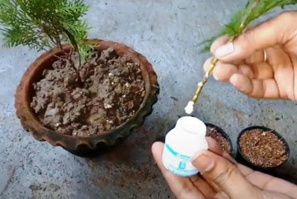 Размножение туи осенью черенками: способы укоренения, подготовка рассады, условия для посадки