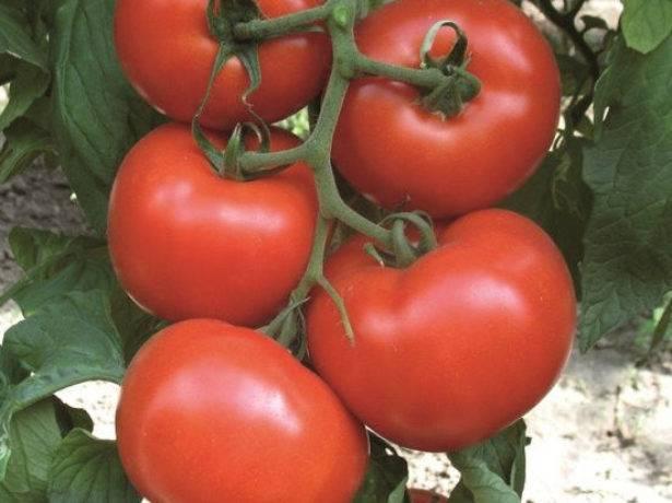 Характеристика и описание сорта томата махитос f1