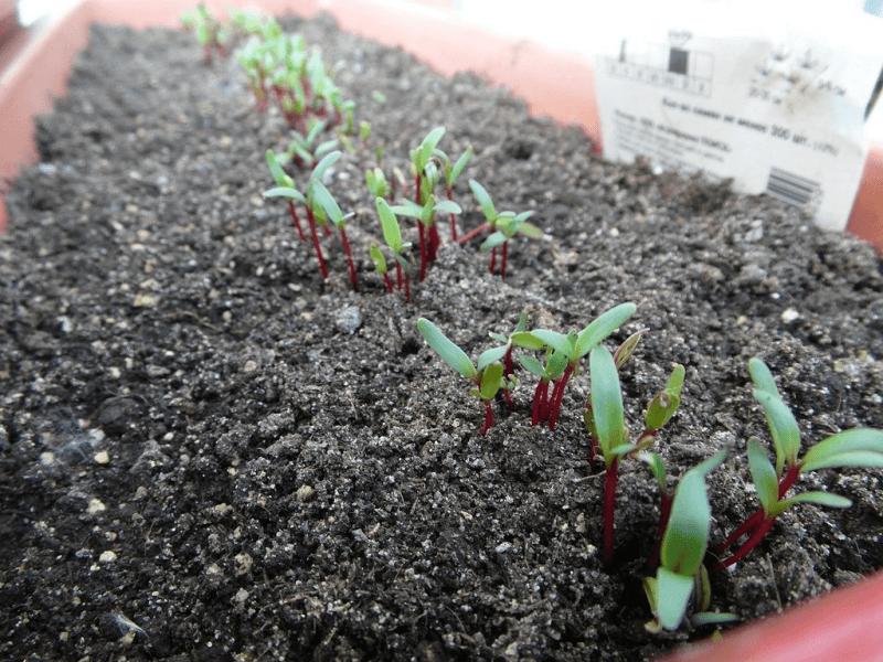 Посадка семян свеклы весной в открытый грунт: правила, уход после посева