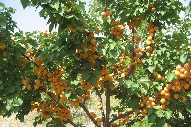 Сорт абрикоса ананасный — один из лучших сортов для выращивания в местности с неустойчивым климатом