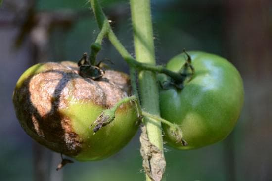 Как избавиться от фитофторы на помидорах