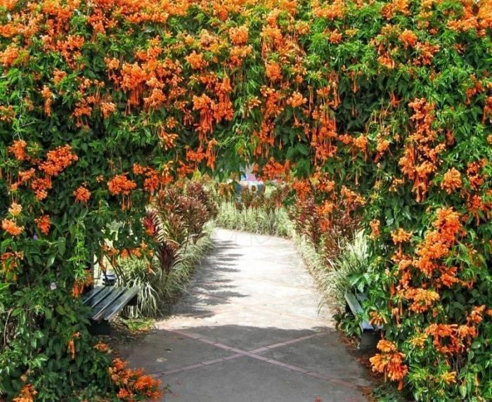 Декоративные вьющиеся растения для сада на даче