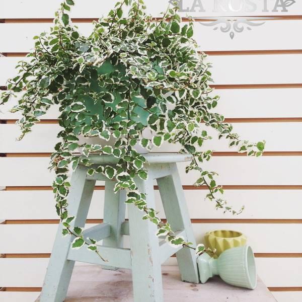 Фикус пумила уайт санни — крохотное растение