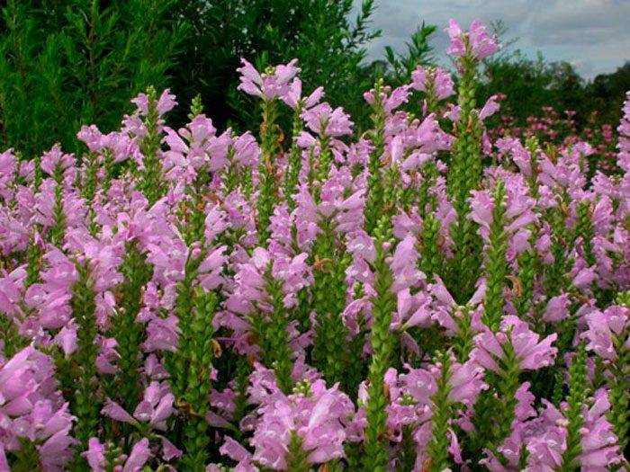Выращивание физостегии в саду, популярные сорта и применение в ландшафтном дизайне