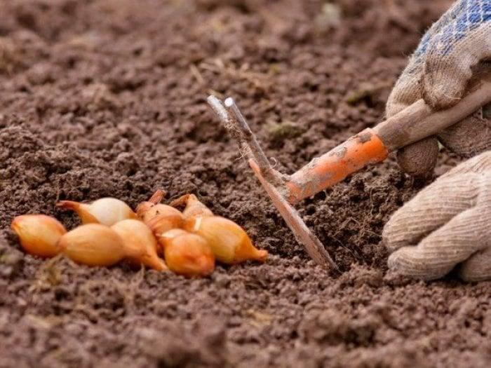 Чем подкормить лук, чтобы был крупный народные средства фото видео
