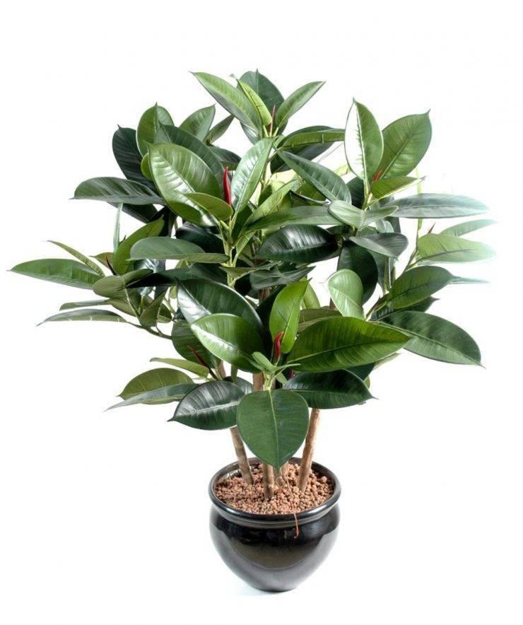 Фикус крупнолистный (41 фото): как укоренить фикус с большими листьями? почему он так называется? как его размножить? уход в домашних условиях