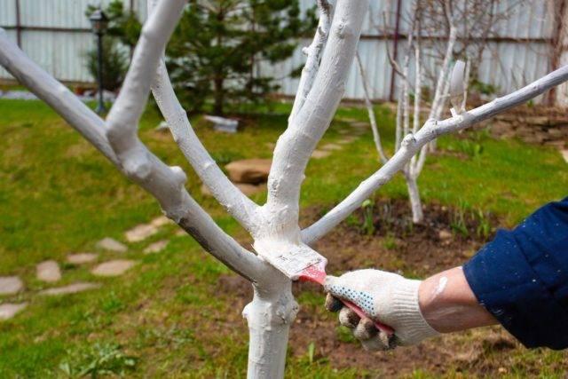 Яблоня баяна: описание сорта, фото, отзывы, посадка