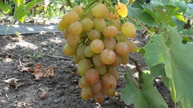 Виноград дарья, дашуня: описание сорта, фото, видео, отзывы