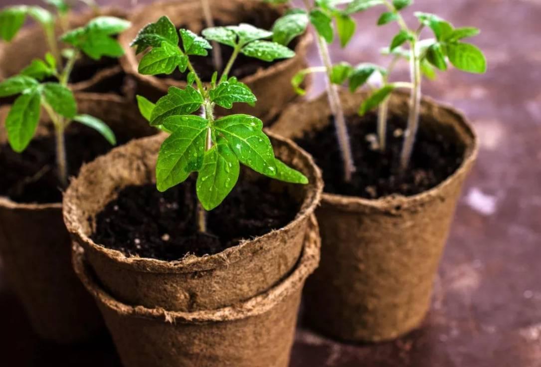 Посадочные дни для рассады томатов для сибири на 2021 год по фазам луны