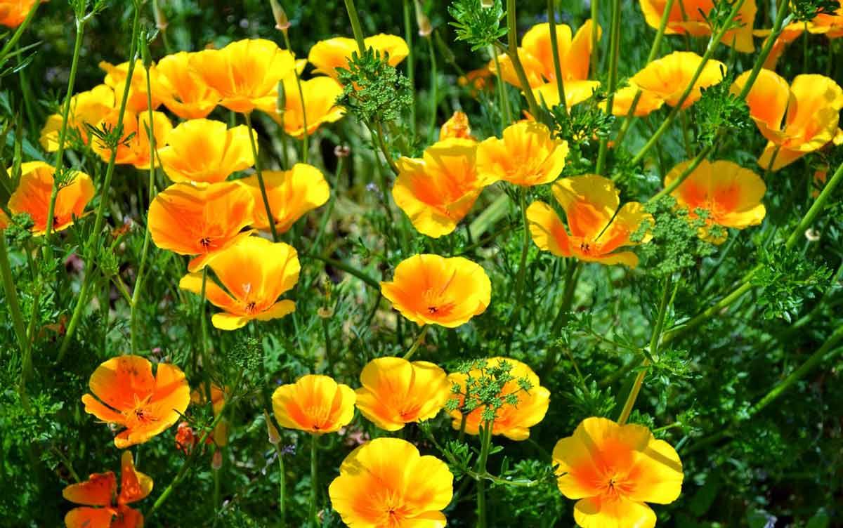Эшшольция: выращивание рассады в торфяных таблетках