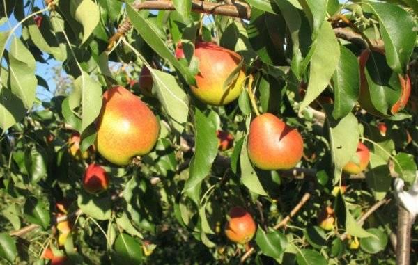 Груша радужная: описание сорта, преимущества и недостатки, характеристика плодов, технология посадки, агротехника, сбор и хранение урожая, отзывы