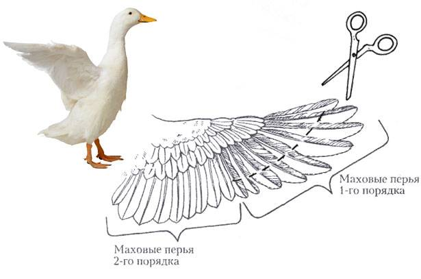 Как подрезать крылья уткам: как правильно и в каком возрасте делать