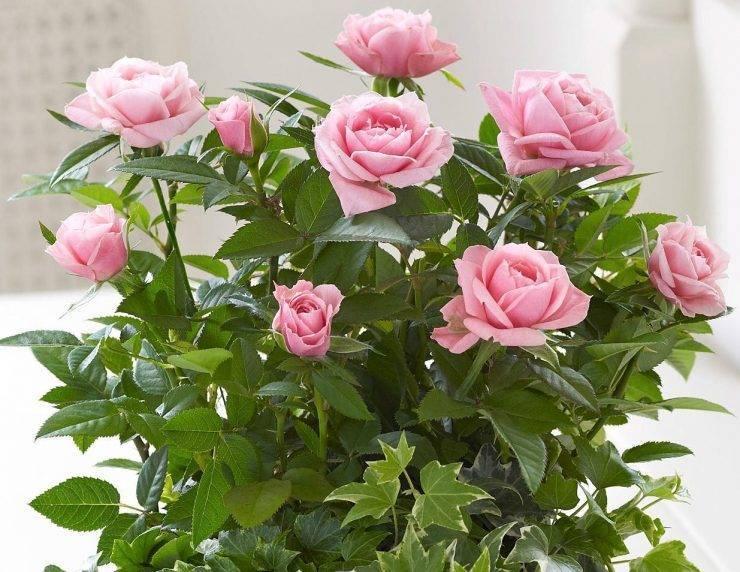 Уход за комнатной розой – пересадка и болезни; комнатная роза зимой; комнатные розы после покупки