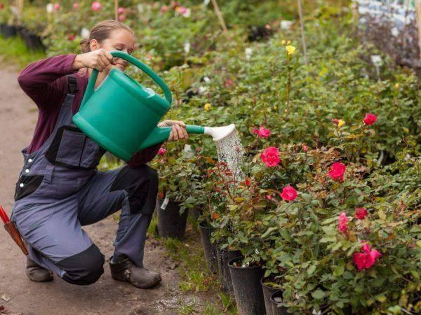 Подкормка роз осенью. уход и подготовка к зиме