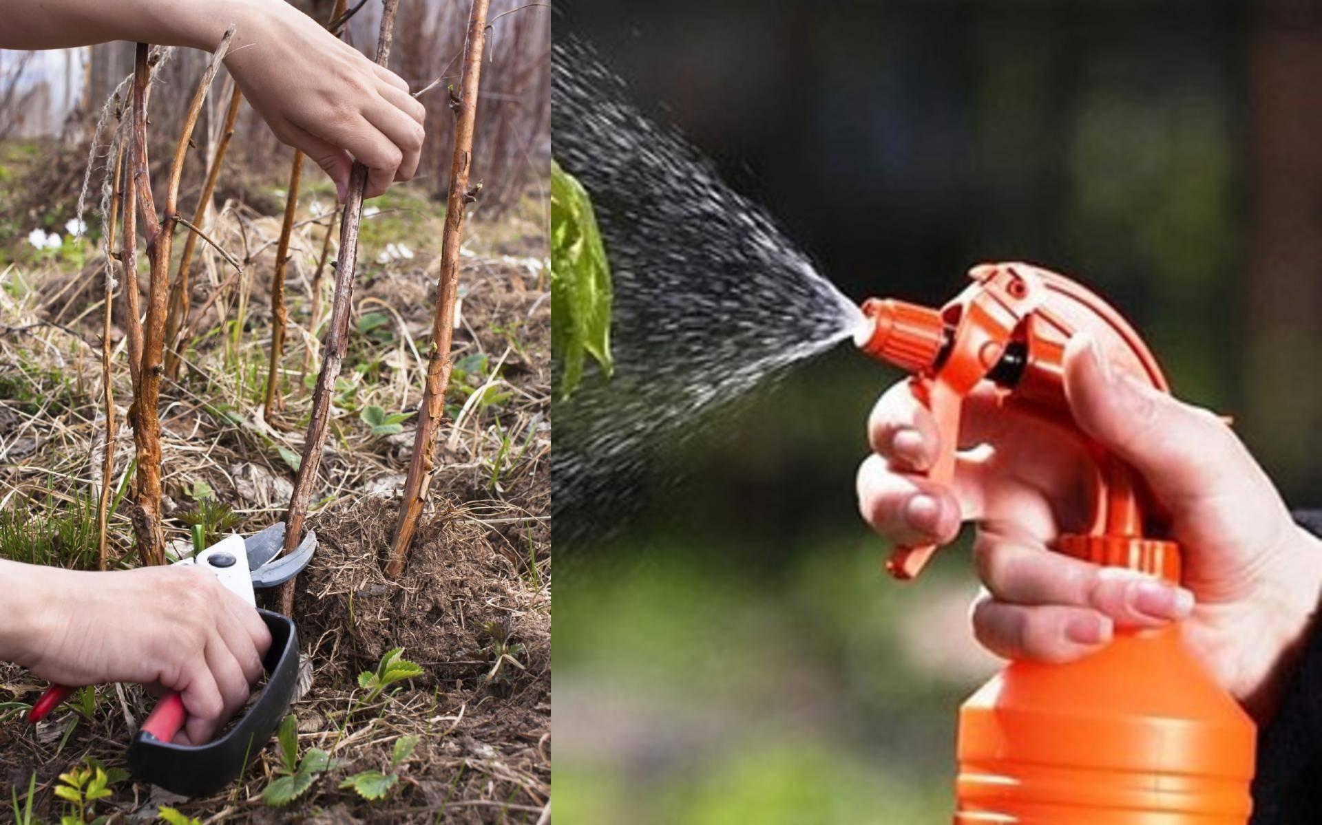 Уход за малиной после сбора урожая: чем подкормить и обработать, обрезка и другие мероприятия