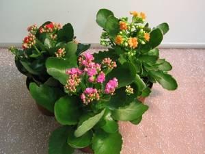 Каланхоэ цветущее - уход в домашних условиях, полив, пересадка, обрезка