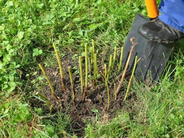 Древовидный пион: уход осенью и подготовка к зиме