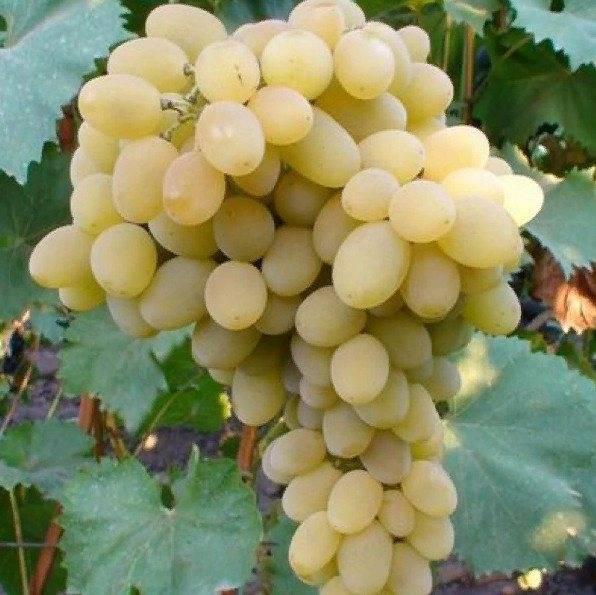Характеристика сорта винограда феномен - агро журнал dachnye-fei.ru