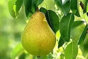 Обзор сорта груши сказочная: стандарты, характеристика плодов, фото и отзывы