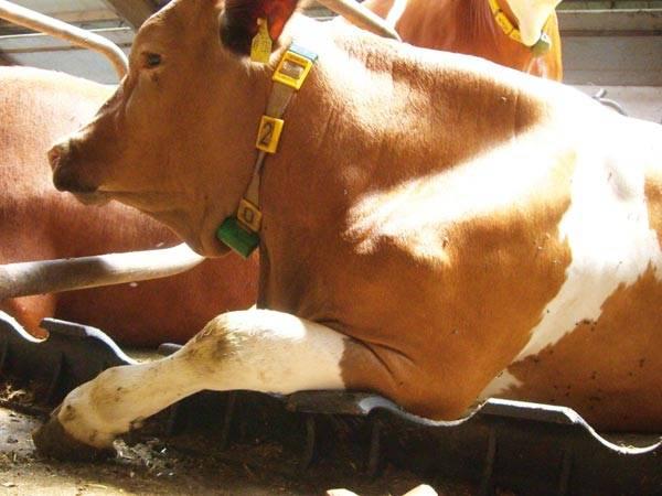 Чем нужно лечить суставы коров и телят