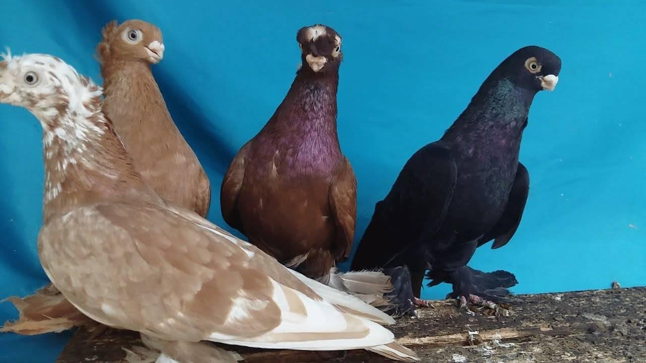 Узбекские бойные - необычная порода голубей, удивляющая своей красотой и многогранностью
