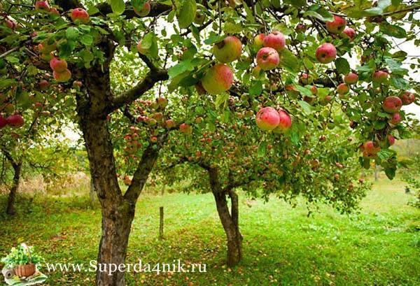 Подкормка яблони весной: чем подкормить для хорошего урожая, как правильно