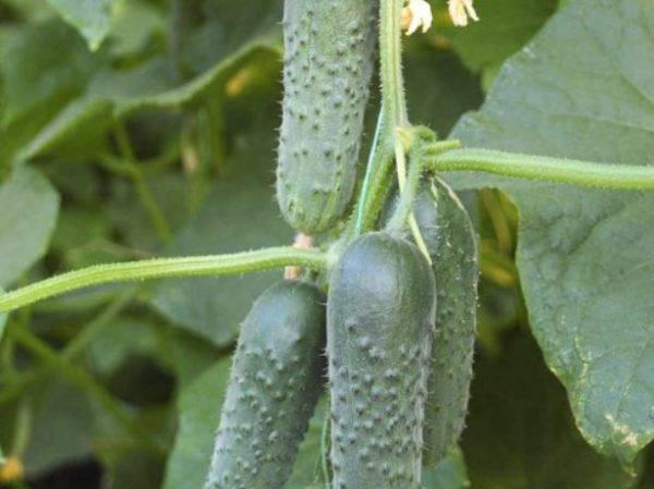 Огурец сигурд f1 - описание и правила выращивания сорта, фото, отзывы