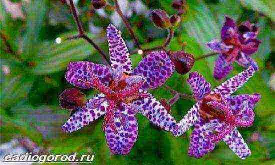 Трициртис посадка и уход в открытом грунте с фото и описанием садовой орхидеи