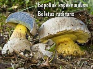 Опасный двойник белого гриба — боровик коренящийся!