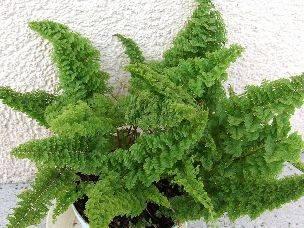 Комнатное растение нефролепис: уход, размножение и пересадка в домашних условиях