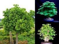 Гинкго билоба: выращивание в домашних условиях