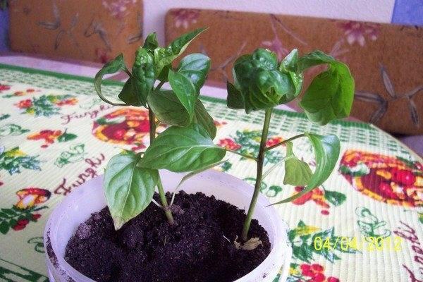 У перцев скручиваются листья: почему это происходит и что делать для спасения урожая (100 фото)