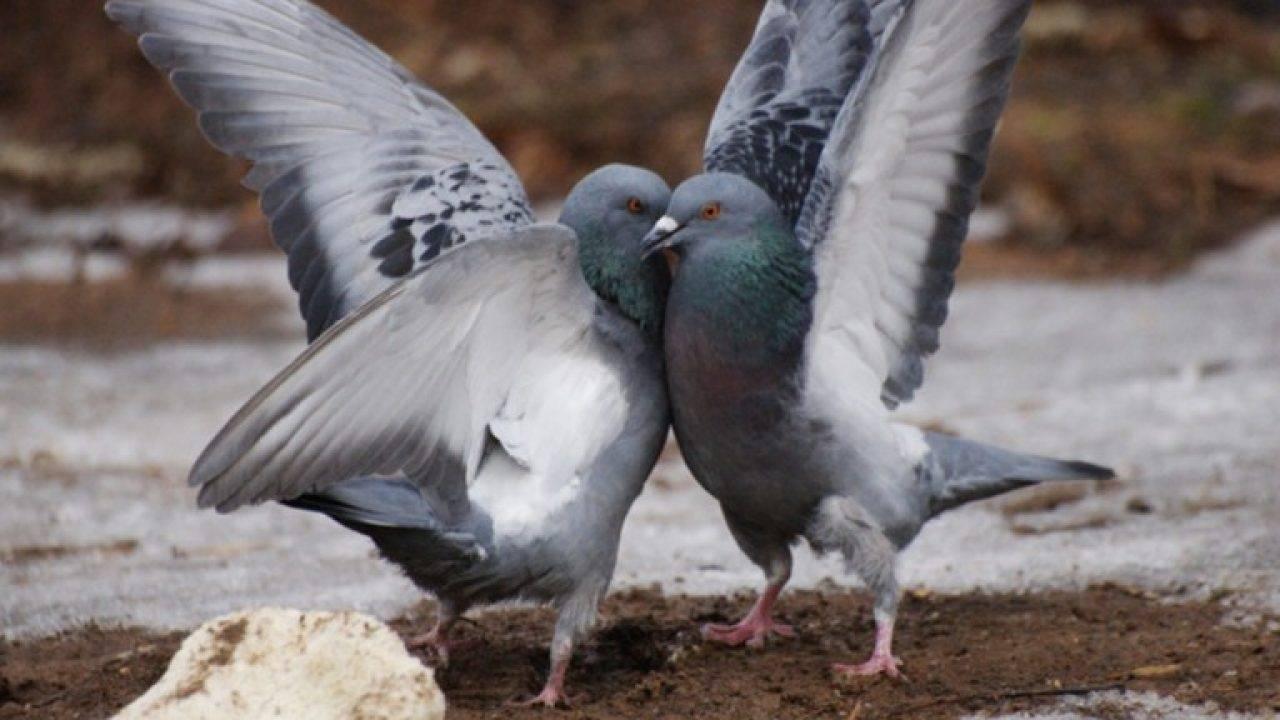 Как размножаются голуби - особенности процесса спаривания