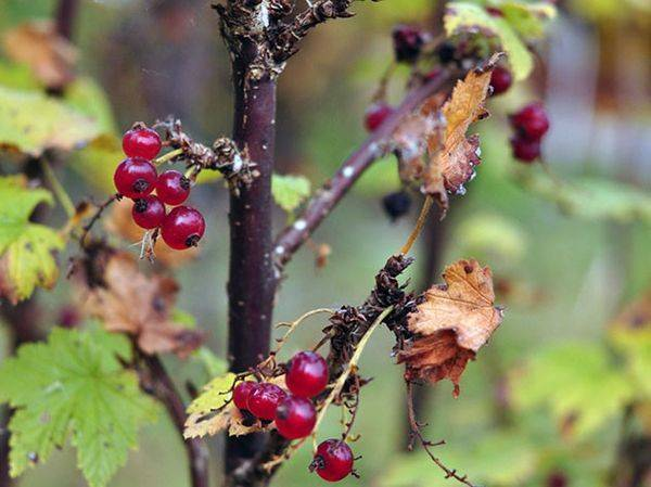 Внесение удобрений под смородину весной, летом и осенью