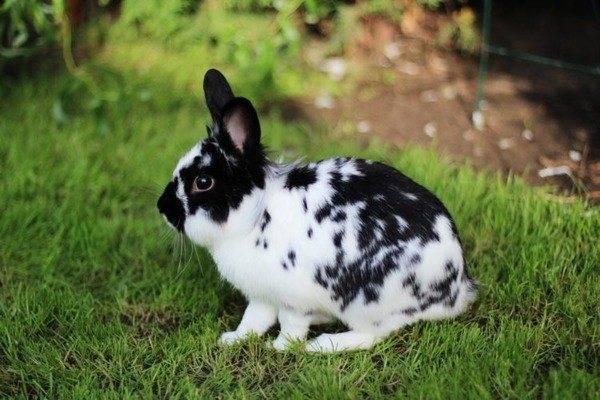 Кролики с оригинальным окрасом и названием – бабочка
