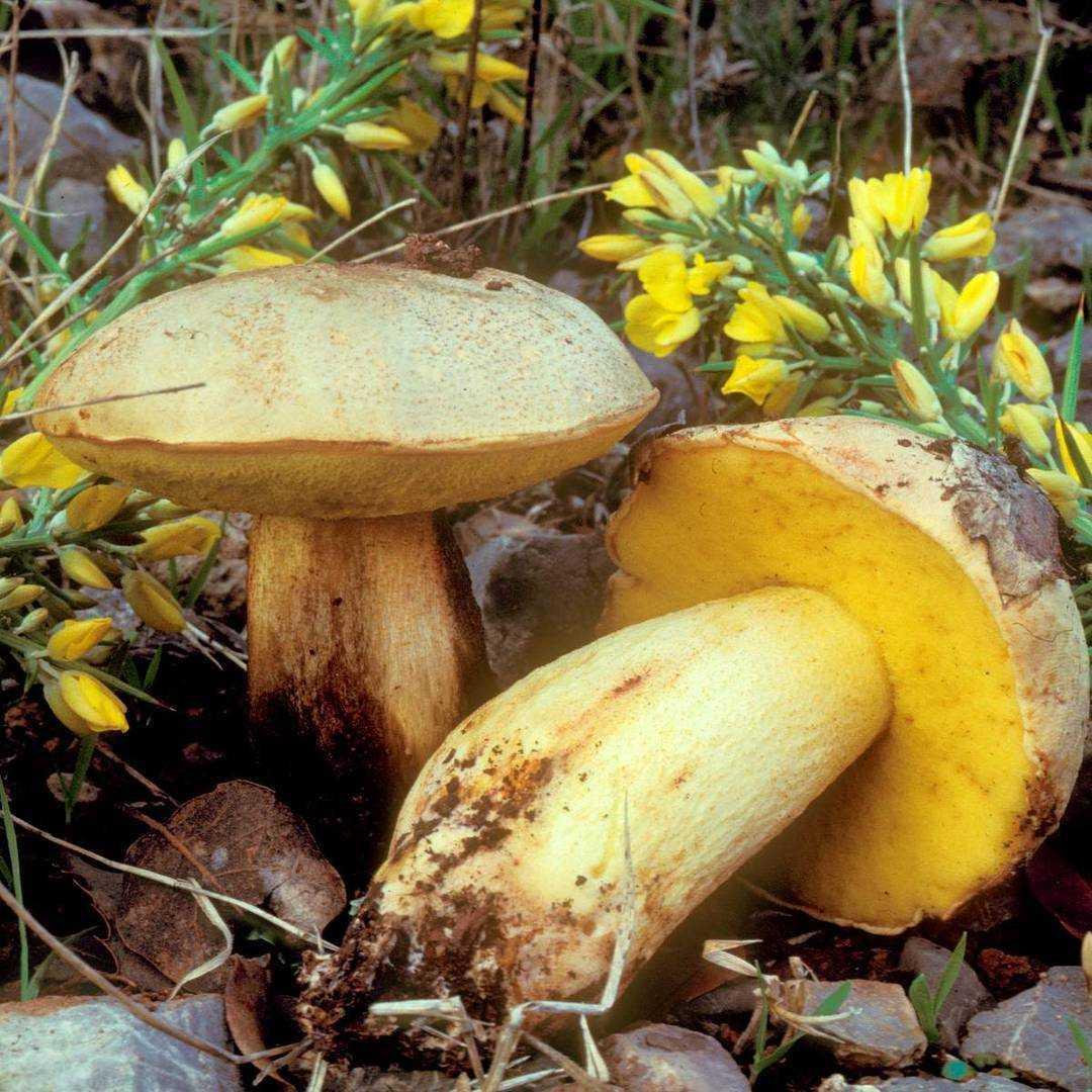 Описание и места распространения полубелого гриба